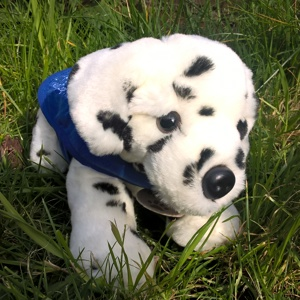 Dalmation lying-down support dog