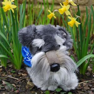 Schnauzer lying-down support dog