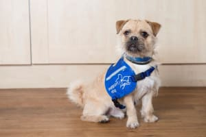 Disability assistance dog Fudge