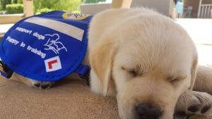 Trainee assistance dog puppy